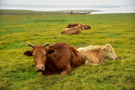 A few cows Stok Fotoğraf
