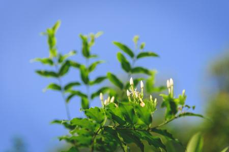 Jasmine under the blue sky
