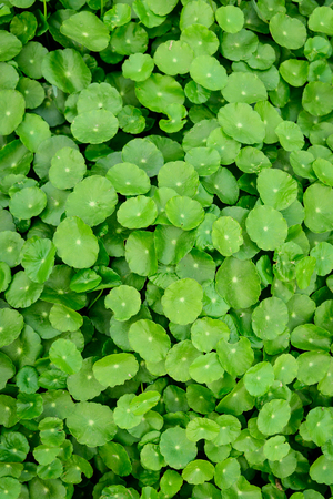 Hydrocotyle close up view