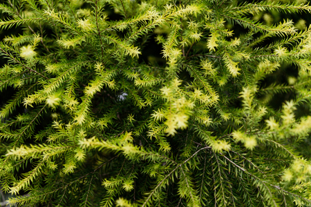 green Pine 写真素材