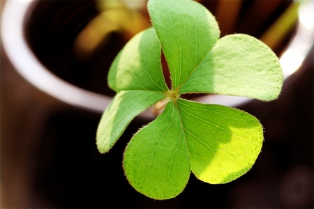 Close-up shot of a clover �C shallow depth of field. Stock Photo - 11120158