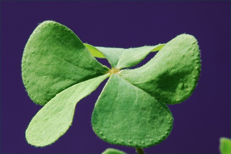 Close-up shot of a clover �C shallow depth of field. photo