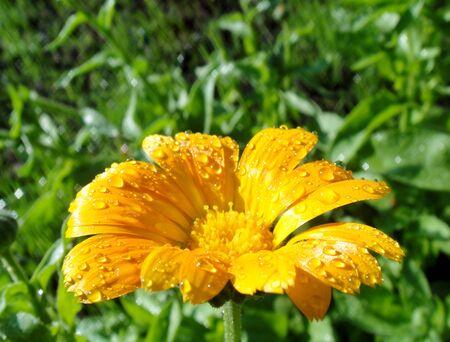macro photo of bright summer yellow calendula with dew