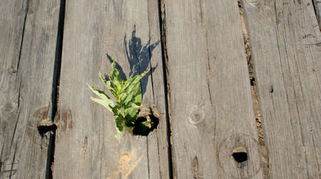 plant grows through old dirty gray-brown boards