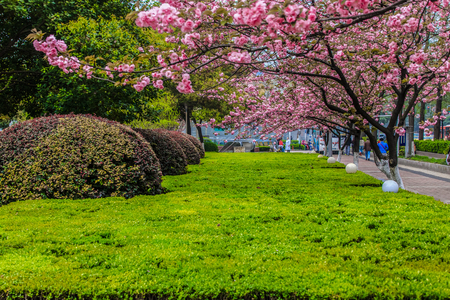 Cherry Blossom Street View Editorial