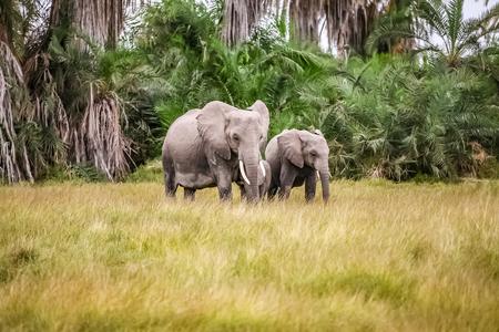 Wild elephants in Amboseli National Park, Kenya