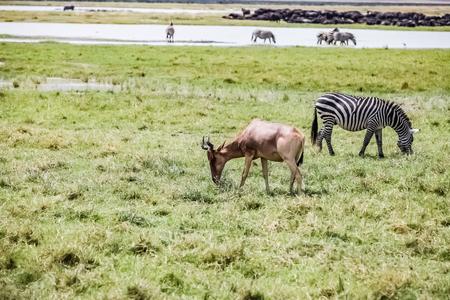 Zebra  in Serengeti, Tanzania