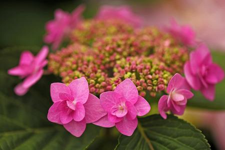 アジサイの花 写真素材 - 37628115