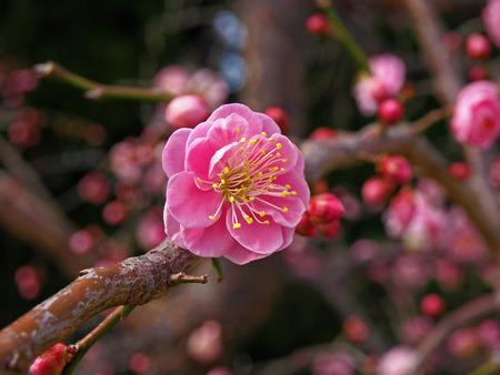 Prunus mume flower Stock Photo