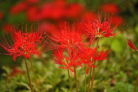 ヒガンバナ科の花 写真素材 - 37738903