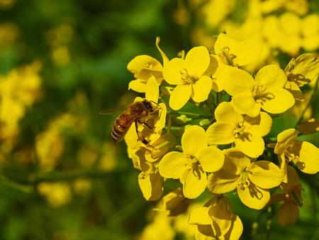 Field mustard photo