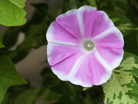convolvulaceae: Morning glory Stock Photo