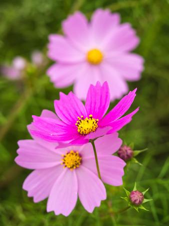 peacefulness: Cosmos Stock Photo