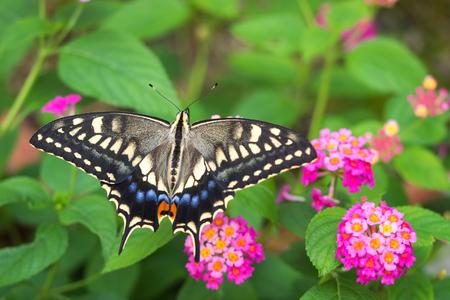 Swallowtail butterfly. Foto de archivo