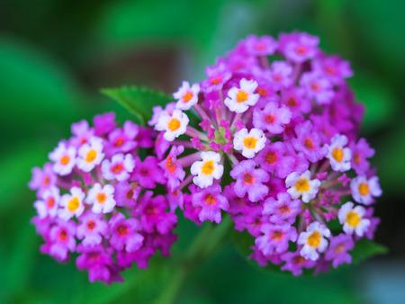 紫ランタナの花