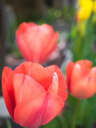 Tulip close up 写真素材