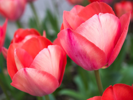 Blooming red tulips in spring