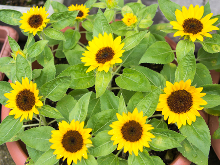 Mini Sunflower 写真素材 - 104727439