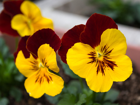 Pretty Pansy flowers