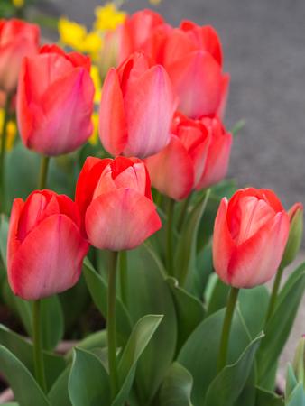 Tulip flower background.