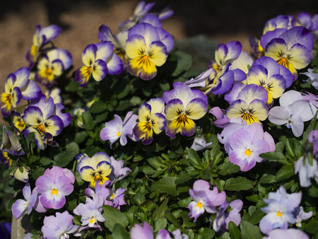 Viola purple flower background.