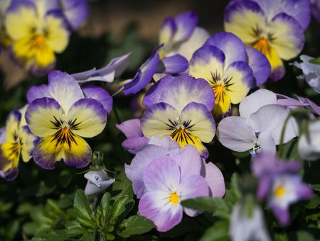 Viola flower background.