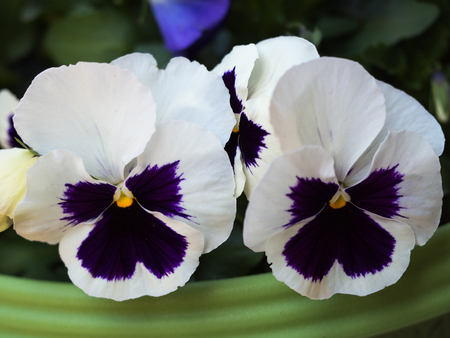 Pansy flower background.
