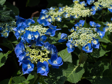 Hydrangea flower background.