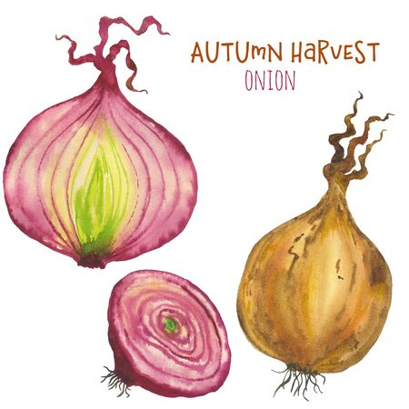 Watercolor illustration set of onions. Hand made isolated illustration on white background. For design and decoration of cards, textiles or print.