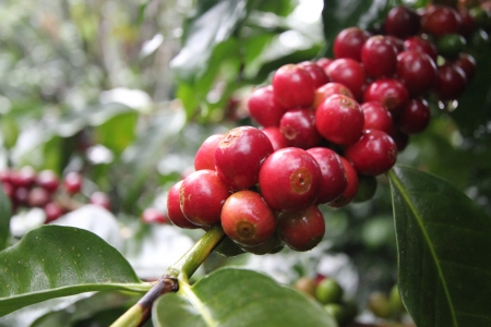 coffee tree: coffee beans on coffee tree Stock Photo