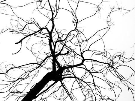 dead tree  branches on white background,silhouette