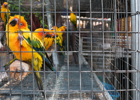 colorful conure parrots in cage