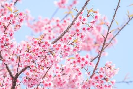 Spring time with beautiful cherry blossoms, pink sakura flowers.