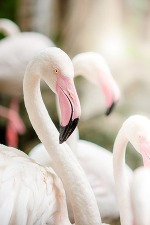 Pink Flamingo-close up, it has a beautiful coloring of feathers. Greater flamingo, Phoenicopterus roseus Фото со стока