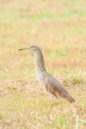 The Chinese pond heron is an East Asian freshwater bird of the heron family. It is one of six species of birds known as