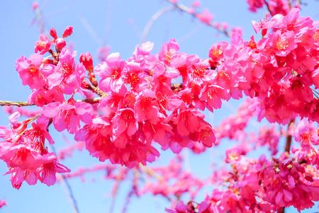 Tempo di primavera con bellissimi fiori di ciliegio, fiori di sakura rosa.
