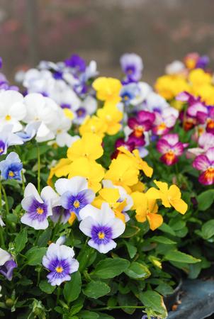 Heartsease (Viola) or Violet. Viola is a genus of flowering plants in the violet family Violaceae. 免版税图像