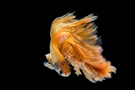 Yellow gold betta fish, siamese fighting fish on black background