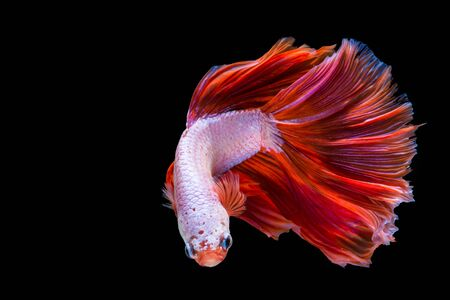 Pink and red betta fish, siamese fighting fish on black background Stock Photo