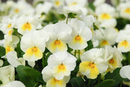 Heartsease (Viola) or Violet. Viola is a genus of flowering plants in the violet family Violaceae. Stock Photo