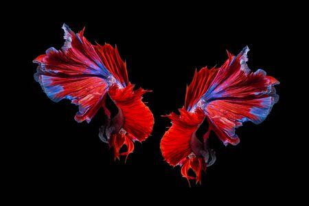 Pez betta rojo y azul, pez luchador siamés sobre fondo negro