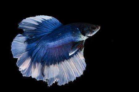Blue and white betta fish, siamese fighting fish on black background Stockfoto