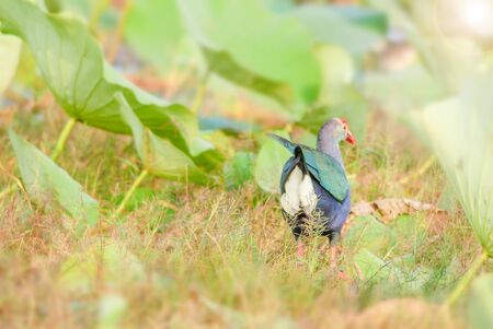 Blurry Purple Swamphen, birds background. It is a large rail, mainly dusky black above, with a broad dark blue collar, and dark blue to purple below.