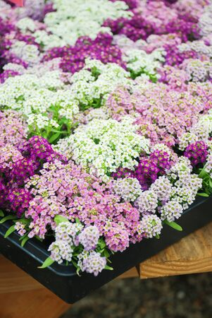 Alyssum flowers. Alyssum in sweet colors. Alyssum in a black tray on wood table, in a dense grounding in a greenhouse. Standard-Bild