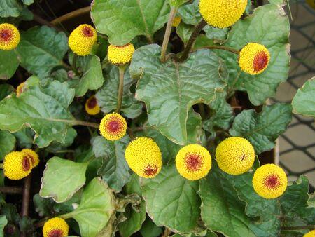 Fresh flowering para cress plant, Spilanthes oleracea, toothache Stockfoto