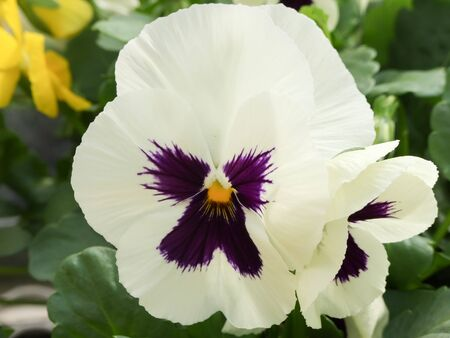 White and Black Flower Pansies closeup of colorful pansy flower, pot plant.