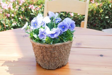 Blue Flower Pansies closeup of colorful pansy flower in the basket on the table. 版權商用圖片