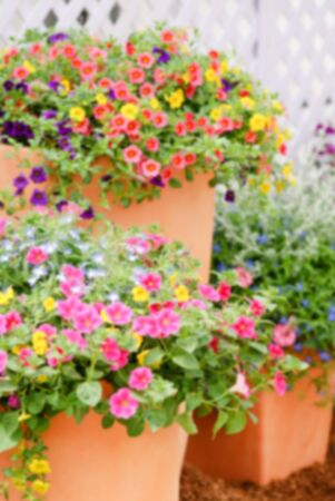 Colorful petunia flowers, Grandiflora is the most popular variety of petunia, with large single or double flowers that form mounds of colorful solid, striped, or variegated blooms.