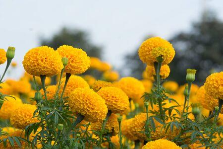 Orange Marigolds flower fields, selective focus Standard-Bild
