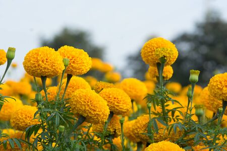 Orange Marigolds flower fields, selective focus Stock Photo